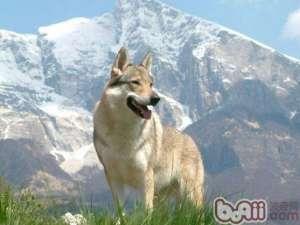 初乳对幼犬的重要性-狗狗繁殖
